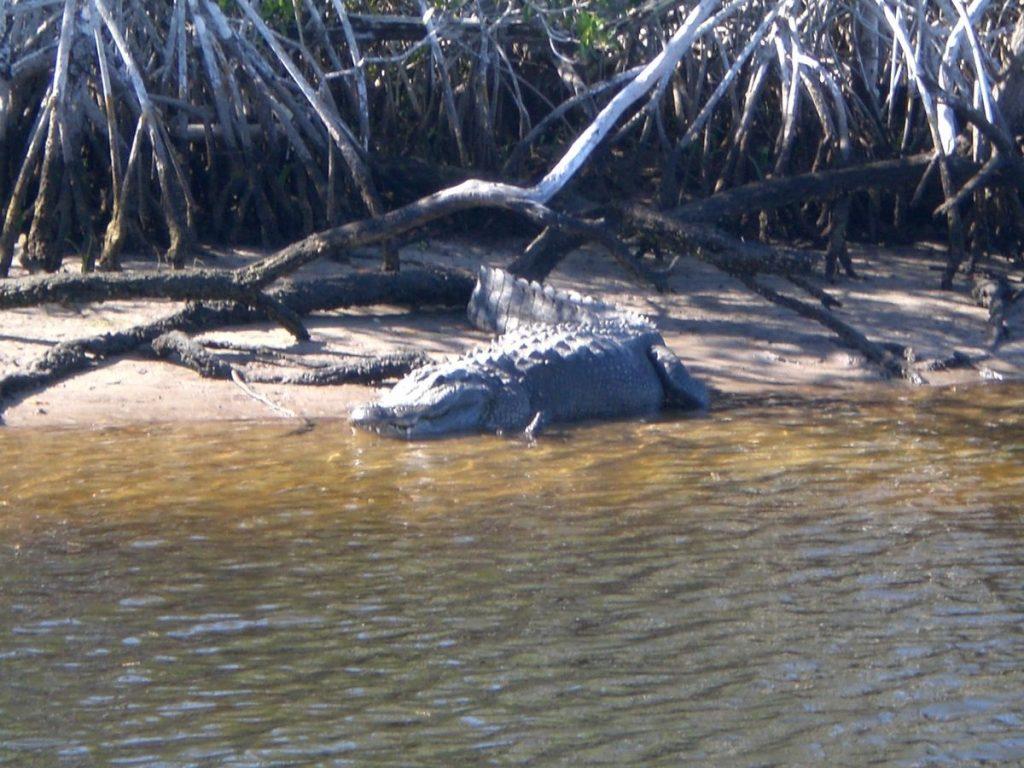 Everglades Ufer mit ruhenden Alligator halb im Wasser