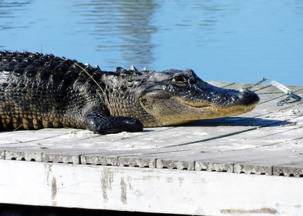Krokodil auf einem Anlegesteg im Nationalpark Florida