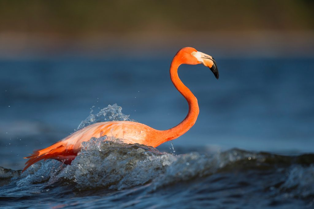 Flamingo in den Welle am Strand