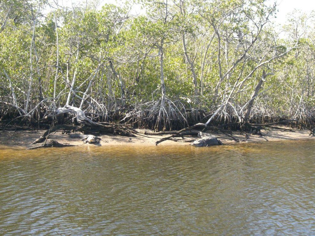 Schlafende Alligatoren im Everglades Nationalpark
