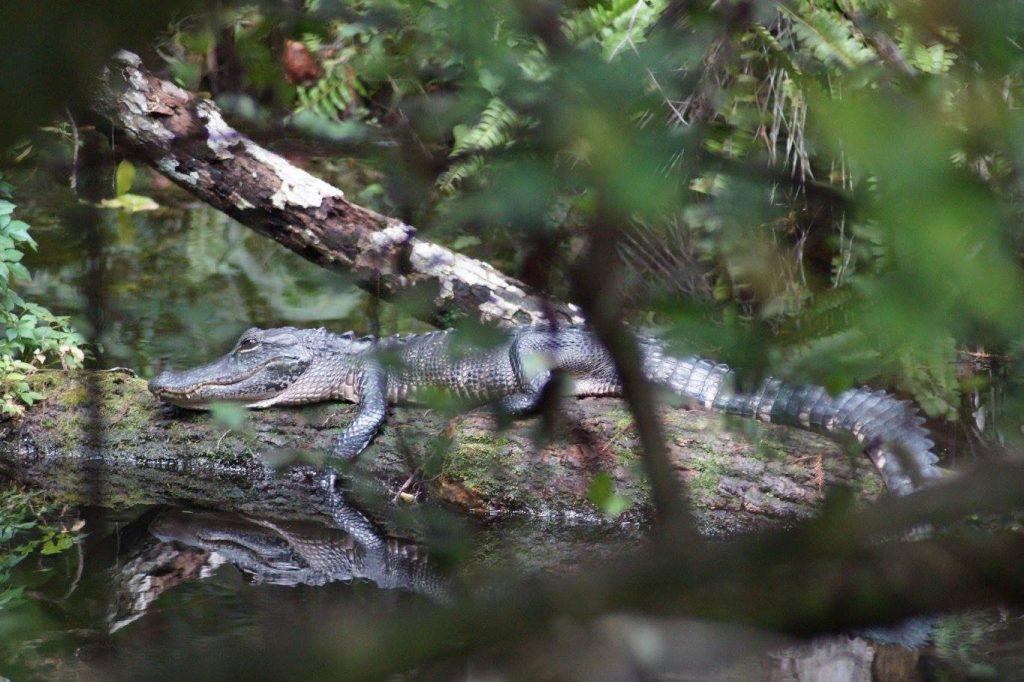 Krokodil am Ufer der everglades
