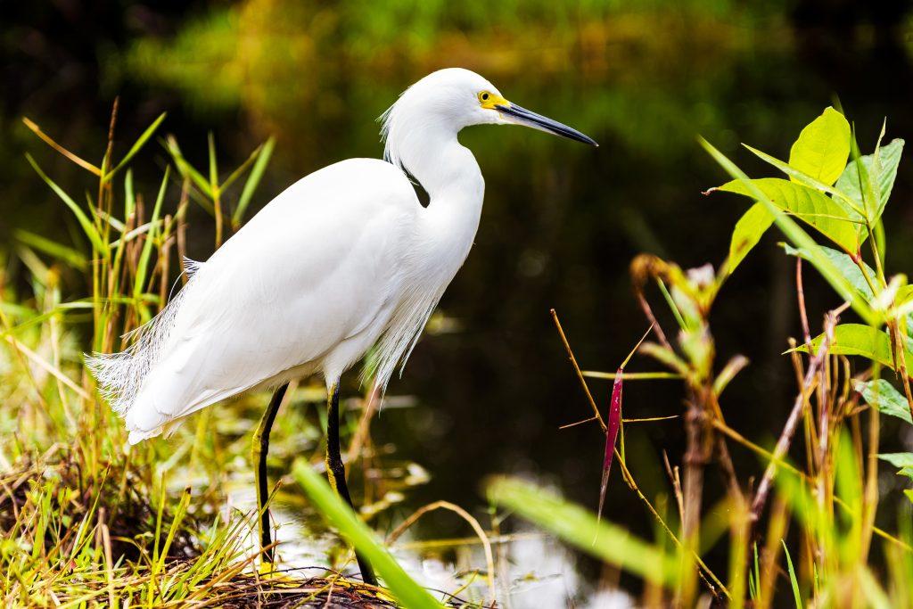 Stehender Reiher am Ufer des Everglades Nationalpark