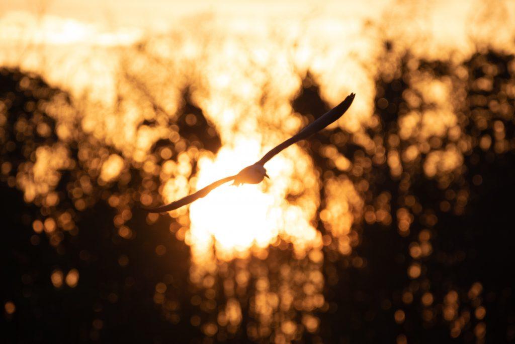 Fliegender Kranich in die Abendsonne bei den Everglades in Florida