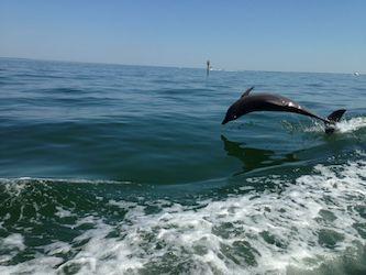 springender Delfin vor Cape Coral